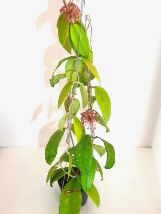 1 Pot,  20 - 30 Inches Rooted Plant Of Hoya Finlaysonii Nova Extremly Rare