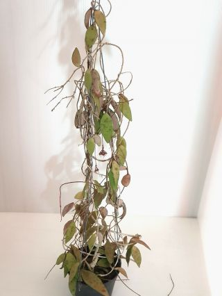 1 Pot,  20 - 30 Inches Rooted Plant Of Hoya Flagellate Golden Extremly Rare
