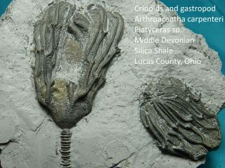 Rare Pyritized Devonian Crinoids One With Coprophagous Snail In Place