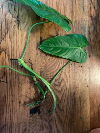 Philodendron Tenue Top Cutting Rare Aroid