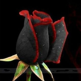 100 Seeds / Pack Rare Amazingly Black Rose Seed Flower Red Edge Seeds