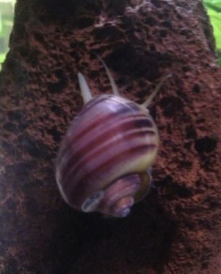 3x Magenta Mystery Snail Baby,  Extremely Rare Color,  Pea Size Up,  Gorgeous Color