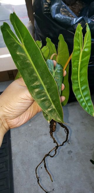 Philodendron Billietiae Rare Orange Petioles